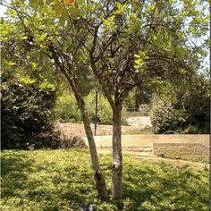 Oskar Schindlers tree at Yad Vashem