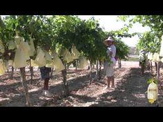 мешки из лозы.     В видео мы видим, как виноград мешки Виналопо долине. Каждый год они поставили 200 млн мешков.      EL EMBOLSADO - Uva Embolsada del Vinalopó D.O.    #виноград Испании