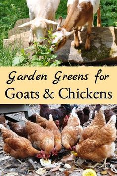 This list identifies greens from your garden that are good for chickens andor goats and greens that you shouldnt feed them Keeping Goats, Raising Goats, Raising Chickens, Keeping Chickens, Pet Chickens, Rabbits, Backyard Farming, Chickens Backyard, Common Garden Plants
