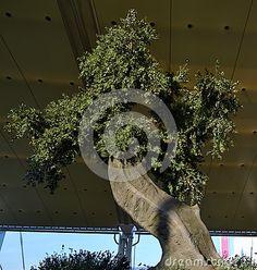 Nadia Mikushova (Nadiamik) -An ancient olive tree of the Expo Milano 2015 in a sunny day. - Dreamstime