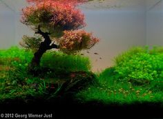 2012 AGA Aquascaping Contest - Entry #173 ~ and there are leaves colors other than green