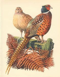 Beautiful picture of a Hen and Cock Pheasant, taken from a disbound vintage bird book, dated Paper size: x inches or 20 x 27 Wildlife Paintings, Wildlife Art, Bird Illustration, Illustrations, Bird Book, British Wildlife, Game Birds, Bird Pictures, Exotic Birds
