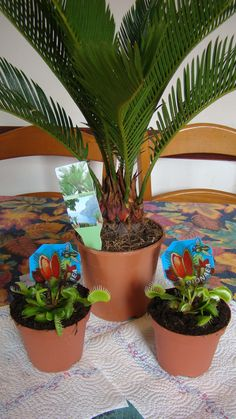 A palm tree & sundew plants - my newest ''pets'' :)