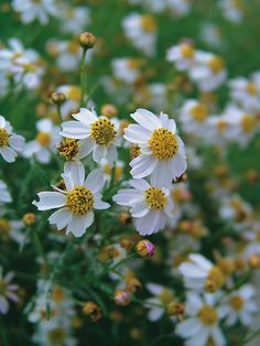 """Coreopsis 'Alba' -  12"""" (Plant 14"""" apart); Blooms Early Summer to Fall;   Full Sun to Mostly Sunny; Zones: 3-9;   Soil: Normal, Sandy; $7.95, www.bluestoneperennials.com"""