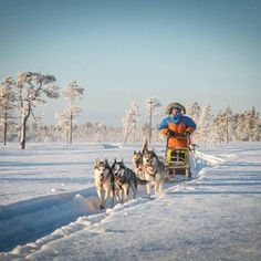 Here you can be a musher by yourself! You will have own husky team and work as a team with these great friends. We will teach you to drive the sled and tell you about the huskies life. Great Friends, Sled, A Team, Camel, Husky, Explore, Animals, Lead Sled, Animales