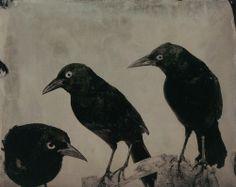 portermoto:  caterinagiglio:  terrenonussbukorrek:Mary Frey - Three Grackles - From her book Imagining Fauna   (via liquidnight)