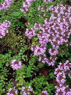 6/27  イブキジャコウソウ(伊吹麝香草、学名:Thymus quinquecostatus )はシソ科イブキジャコウソウ属の小低木。別名、イワジャコウソウ、ナンマンジャコウソウ。  キク亜綱 Asteridae 目:シソ目 Lamiales 科:シソ科 Lamiaceae 属:イブキジャコウソウ属 Thymus 種:イブキジャコウソウ T. quinquecostatus 学名 Thymus quinquecostatus Celak.