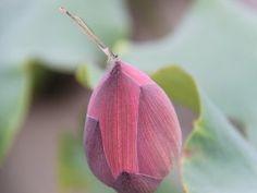 Libélula sobre un loto cerrado