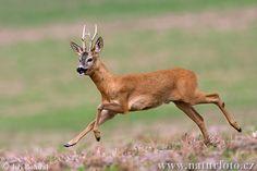 Roe Deer ( Capreolus capreolus )