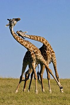 5- Giraffes are native to Africa and can be found in a range that extends from Chad in Central Africa to South Africa. The ideal habitats for the Giraffes are the arid regions such as savannas, grasslands, and open woodlands. Giraffes belong to the family Giraffidae. The family Giraffidae, in turn is subdivided into two subgroups, the genus Giraffa and the genus Okapia.