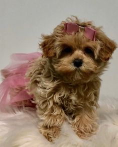 Available – Hollywood Puppy Palace Teddy Bear Puppies, Cockapoo Puppies, Yorkie Puppy, Toy Puppies, Maltipoo, Havanese, Yorkie Breeders, Toy Yorkshire Terrier, Puppy Palace