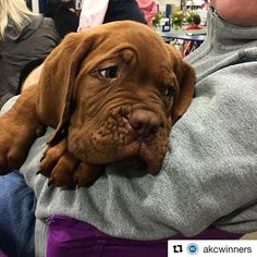 (#Repost from @akcwinners on IG) ・・・ Not much is cuter than a DDB puppy. #DoguedeBordeaux