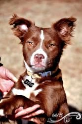 Patches is an adoptable Australian Shepherd Dog in Charlotte, NC. ABUSED PUPPY. I am the sweetest pup you've ever met, but I am very scared. Somebody was very mean to me. My foster mom leaves a big cr...