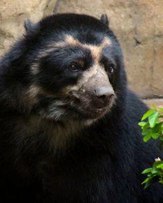 N Animals, Nature Animals, Cute Animals, Panda Bear, Polar Bear, Spectacled Bear, Spirit Bear, Doggy Stuff, Love Bear