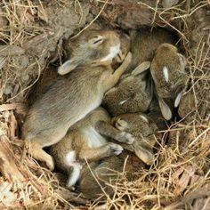 Awww, lovely sweet little bunnies in the nest.
