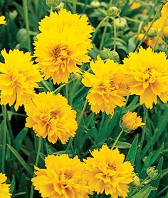 Early Sunrise Coreopsis ---- My favorite perennial ever. I've had the same one at my folks house for 7 years and she does NOT have a green thumb. Blooms from May til Halloween, no joke! This is Early Sunrise Coreopsis. Yellow Perennials, Full Sun Perennials, Flowers Perennials, Planting Flowers, Coreopsis Flower, Flower Gardening, Sun Loving Plants, Hummingbird Garden, Gardening Gloves