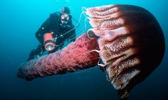 Diver swims alongside a giant jellyfish