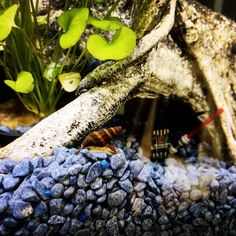 I have added some assassin's to sort out my snail problem. They have become a bit of a phantom menace. #Aquarium #StarWars #AssassinSnail #Tropical