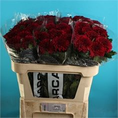 Chrysanthemum Blooms Barca Like Luba are a red, disbudded, single headed cut flower variety. tall & wholesaled in 10 stem wraps. Cut Flowers, Fresh Flowers, Florist Supplies, Gothic Wedding, Chrysanthemum, Wedding Flowers, Floral Design, Wraps, Bloom