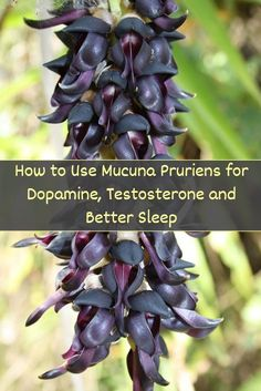 Mucuna pruriens is one of the more potent mood enhancing and libido stimulating superfoods available, with noticeable health benefits and a long list of uses. This powerful herb can have a direct influence on your brain's neurotransmitters and potentially have beneficial effects on your mental state, energy levels, ability to relax and even body composition and libido.