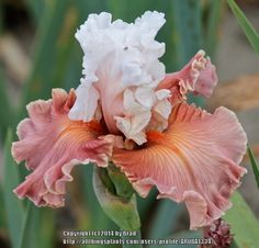 TB Iris germanica 'Emblematic' (Ghio, 2012)