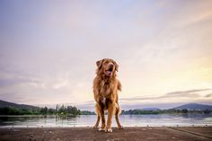 Toller, Duck tolling retriever©John Muir Photography   Brisbane, Canberra on location dog photography