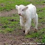 Image detail for -Shamrock Acres Dexter Cattle - Hudsonville, MI - Farm | Facebook