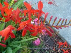 branched: Crocosmia crocosmiiflora, perennial herb with linear lanceolate leaves and red irregular flowers on branched stalks Stock Photo Crocosmia, Red Flowers, Perennials, Herbs, Leaves, Stock Photos, Plants, Pictures, Photography