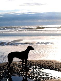 Beautiful Greyhound at the beach - https://www.facebook.com/abandon.levriers.espagne