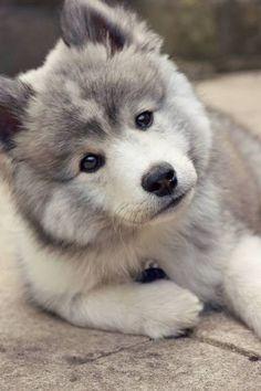 Pomsky Picture Gallery - The Pomeranian Husky