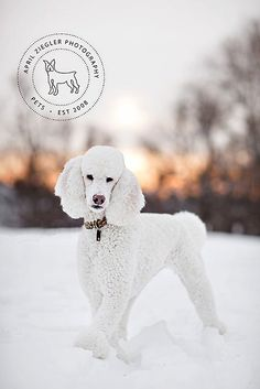 Things I respect about the Very Smart Poodle Pup All Dogs, I Love Dogs, Cute Dogs, Dogs And Puppies, Dogs 101, Doggies, Poodle Cuts, Poodle Mix, Poodle Puppies