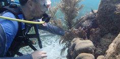 Estudian efecto del cambio climático en las algas coralinas