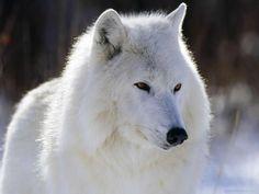 Lobo Ártico. Rosme feler: julio 2011