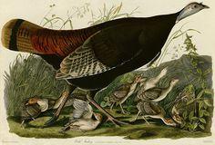 Audubon Turkey