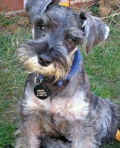 miniature schnauzer - I need one of these.
