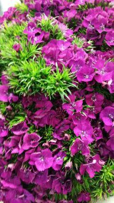 Dianthus Barbatus Amazon Neon Purple