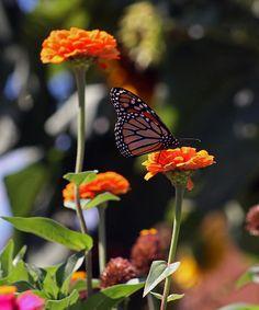 """Monarch Butterfly And Orange Zinnias"" by Kay Novy  http://kay-novy.artistwebsites.com/featured/monarch-butterfly-and-orange-zinnias-kay-novy.html"
