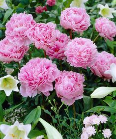 Take a look at this Dormant Sarah Bernhardt Peony Root - Set of Three today!