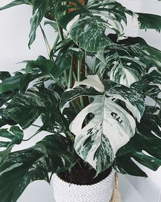 The incredibly rare and striking variegated monstera plant! Monstera Deliciosa, House Plants Decor, Plant Decor, Diy Garden, Garden Plants, Plant Background, Plant Wallpaper, Plant Aesthetic, Variegated Plants