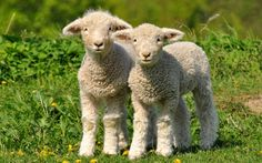 pastoral painting of english prized sheep - Google Search
