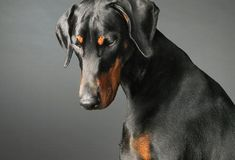 Doberman Pinscher: Heart Condition  Dilated cardiomyopathy (DCM) is a serious heart condition in which the heart's chambers are stretched out and don't pump blood effectively. Often, owners of dogs with DCM don't even realize something is wrong until their dog collapses. Because DCM is so common in Dobermans, many vets suggest annual screenings. Medications can regulate heart rhythm and improve the heart's ability to pump, but there is no cure for DCM.