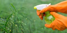 Three Chemical-Free Sprays for Repelling Pests in the Garden… – The Environmental Alternative For Safer Pest Control