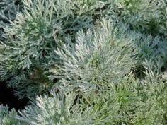 Artemisia schmidtiana 'Nana' (Alsem, bijvoet, edelruit)  Het blad van Artemisia schmidtiana 'Nana', een Alsem, bijvoet of edelruit, heeft een zilvergrijze kleur wat ook de mooiste eigenschap van deze laag blijvende plant is. De kleine witte bloemetjes van Artemisia schmidtiana 'Nana' verschijnen in de maanden juni-juli maar vallen nauwelijks op. Artemisia schmidtiana 'Nana' staat graag op een zonnige tot half beschaduwde border en wordt dan 25 tot 30 cm hoog.