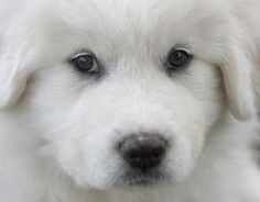 Great Pyrenees have a reputation as great livestock guardian dogs, but they also protect poultry. Read what two owners of Great Pyrenees have to say about the dogs' innate ability to protect poultry and other livestock. Pyrenees Puppies, Great Pyrenees Puppy, Cute Puppies, Dogs And Puppies, White Dogs, Mountain Dogs, Livestock, I Love Dogs, Best Dogs