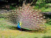 Riikinkukko-Peacock