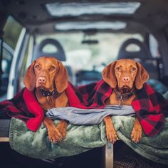 When van camping with two princesses don't forget to bring min 2 blankets per dog and a comfy mattress for them to supervise your cooking. Offer headrubs buttscratches and snacks when requested. #vanlife #campingwithdogs #vizslagram