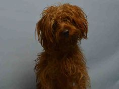 SAFE - 01/16/16 - SHAGGY - #A1062802 - Urgent Brooklyn - MALE BROWN YORKSHIRE TERR/POODLE MIN, 2 Yrs - OWNER SUR - EVALUATE, HOLD RELEASED Reason PERS PROB - Intake 01/12/16 Due Out 01/12/16 - TENSE AND NERVOUS, WILL ATTEMPT TO NIP