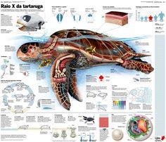 Portfolio of the Week – Glauco Lara - Visualoop Cute Turtles, Environmental Education, Veterinary Medicine, Information Design, Marine Biology, Reptiles And Amphibians, Ocean Life, Science And Nature, Marine Life