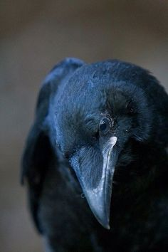 * * [FACTOID: People once believed that when someone died, a crow carried its… Animals And Pets, Cute Animals, Flora Und Fauna, Crow Bird, Quoth The Raven, Raven Art, Jackdaw, Crows Ravens, Bird Art