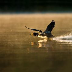 Loon taking off.....